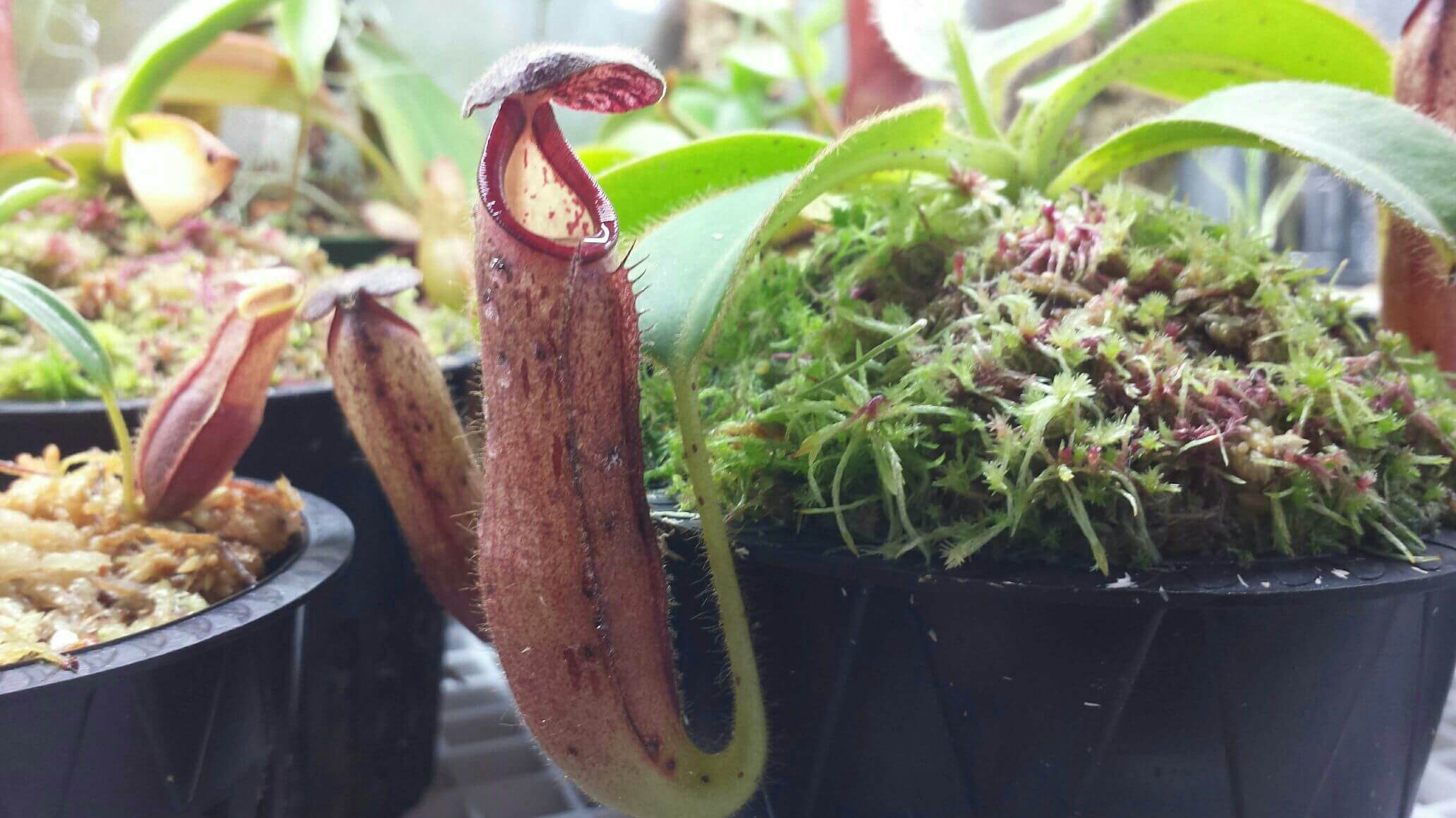 INTERMEDIATE nepenthes