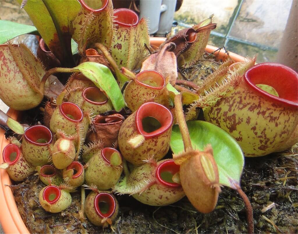 Nepenthes Sıcaklık