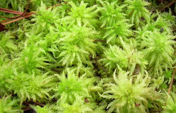 sphagnum moss satin al