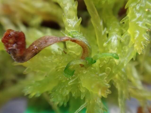 Drosera Yaprak Çekerek Çoğaltma