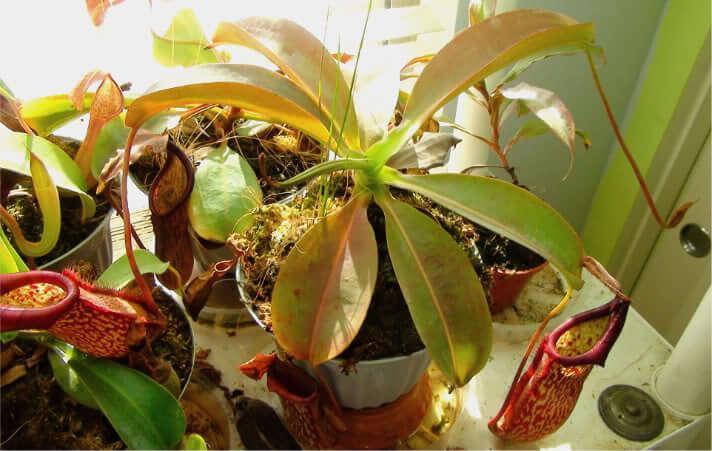 Nepenthes Nem