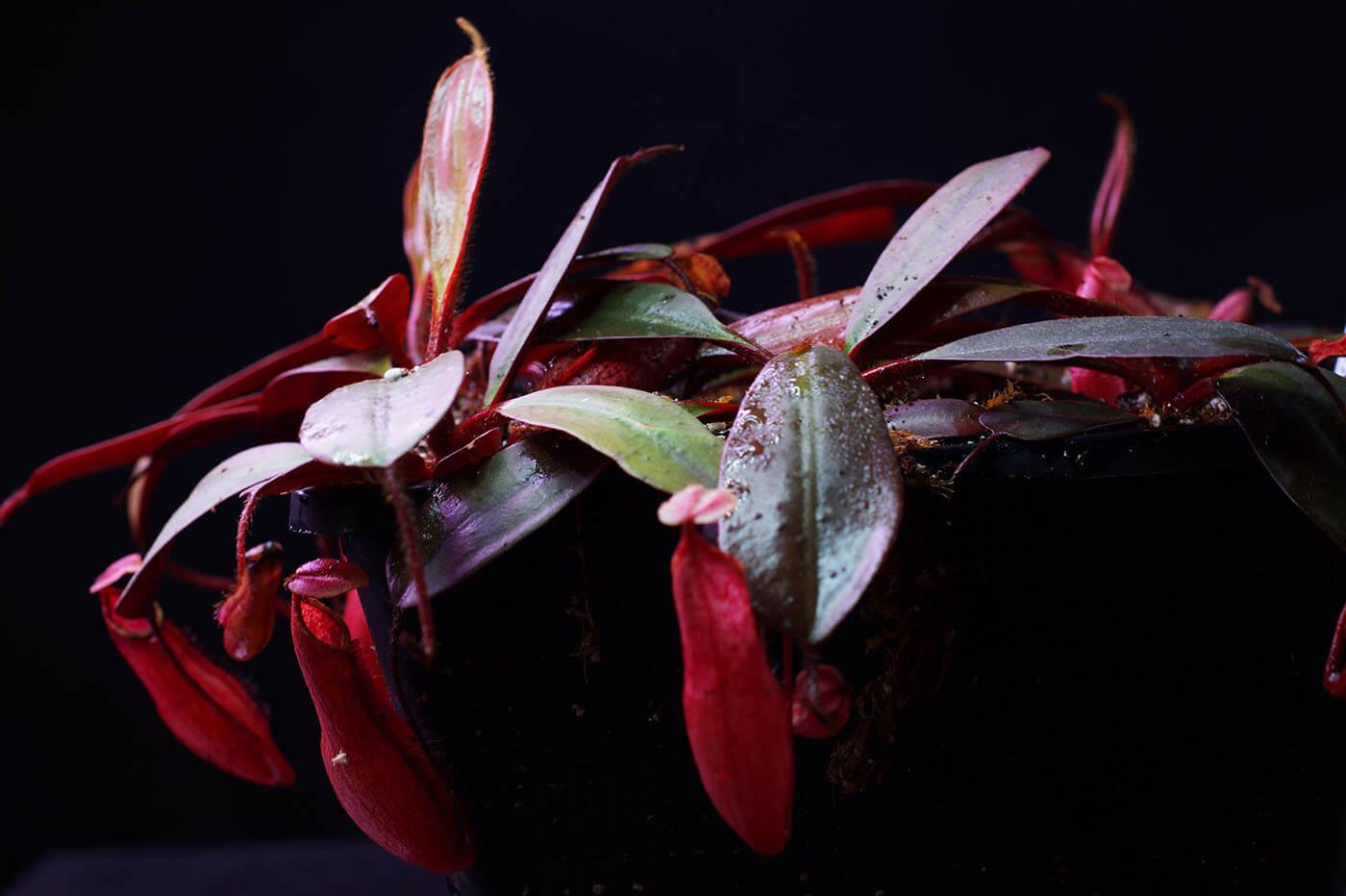 Nepenthes Türleri