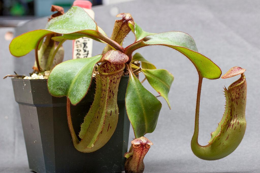 Nepenthes Ultra Lowland
