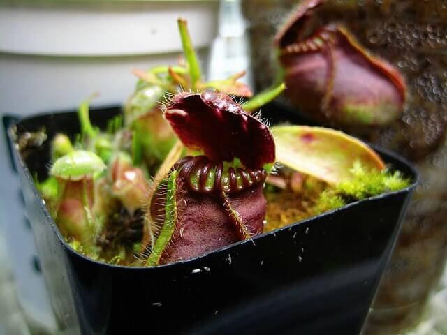 cephalotus bakımı