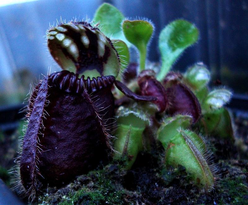 cephalotus etobur bitki