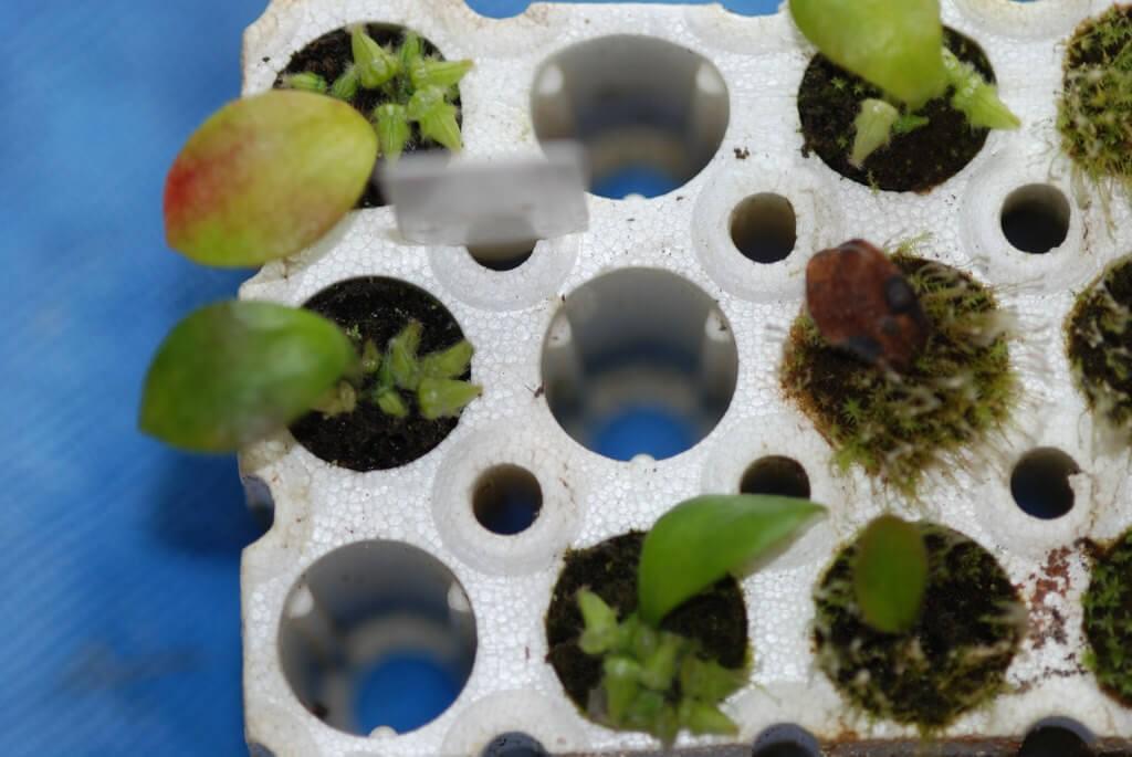 cephalotus yapraktan çoğaltma