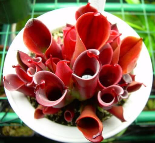 heliamphora satış