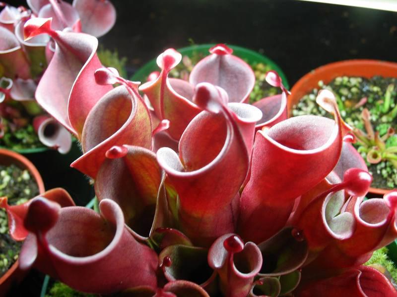 heliamphora sulama
