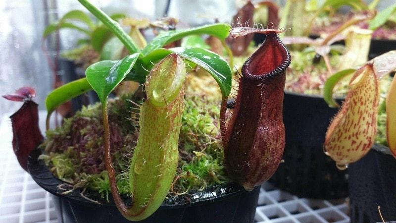 nepenthes sulama