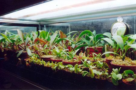 nepenthes terraryum